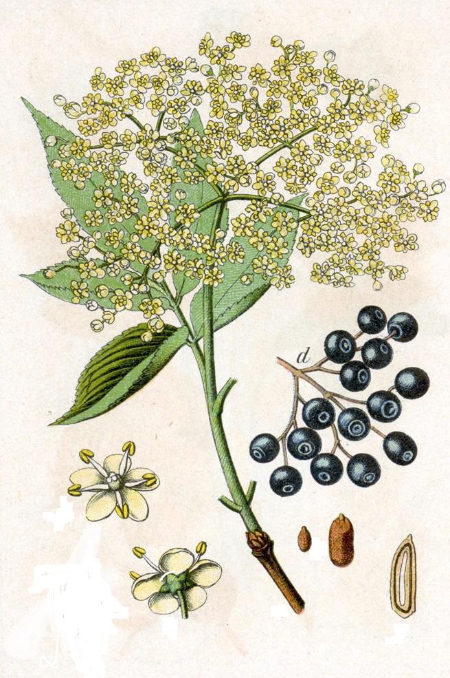 Elderflower-Pressé
